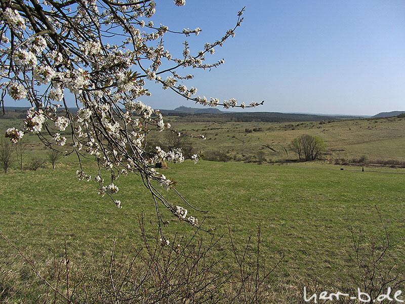 Kirschblüte mit Leuchtenburg im Hintergrund