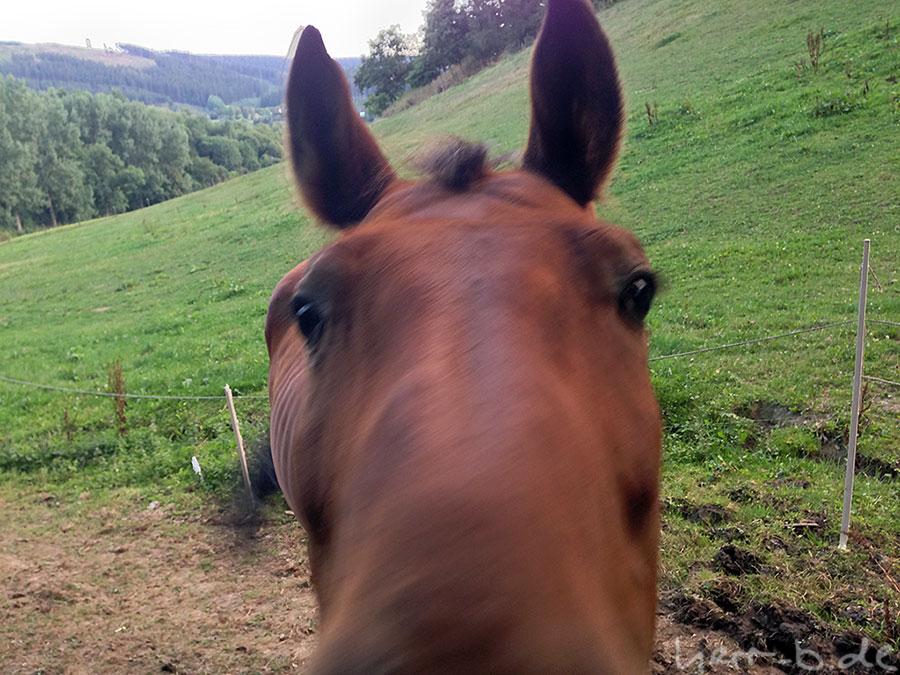 Pferd aus der Nähe