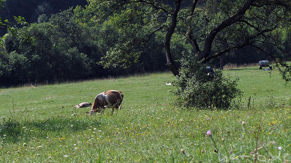 Dösende Kühe auf der Weide