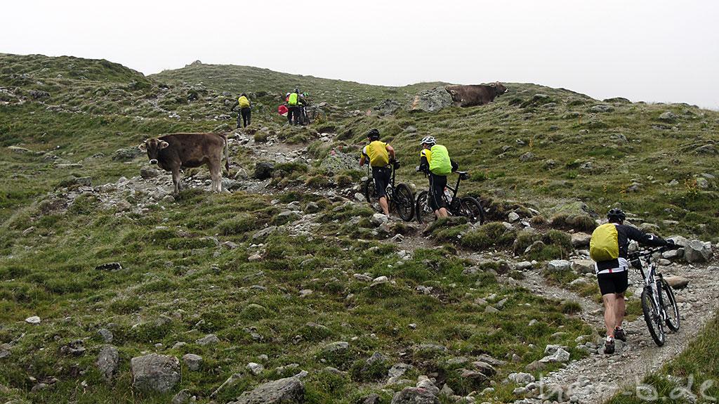Biker und Kühe