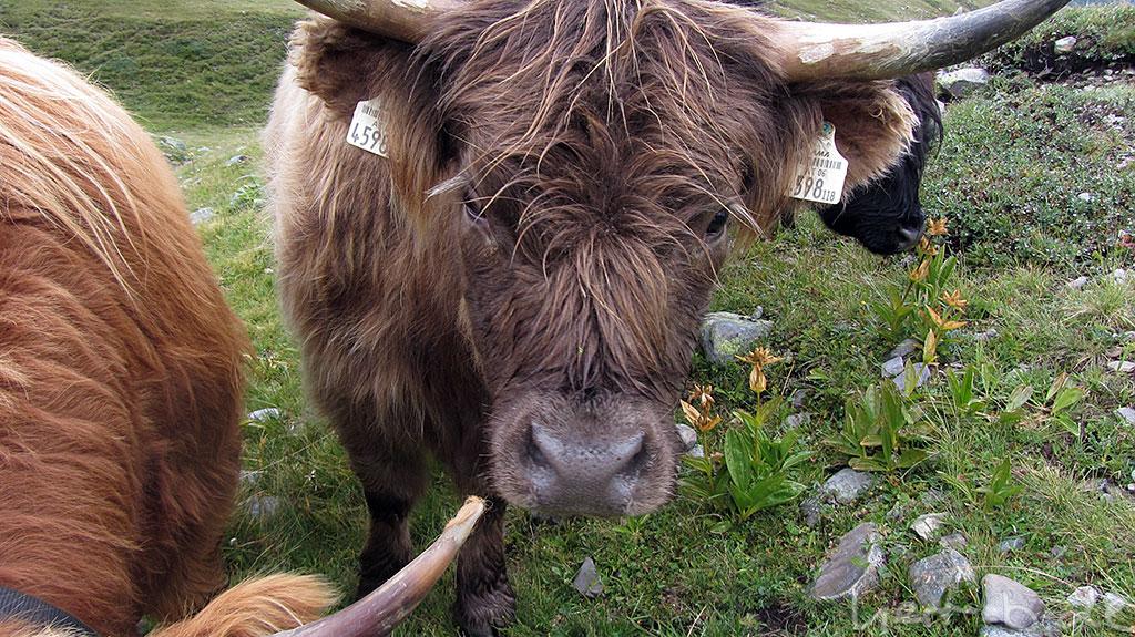 Neugierige Rinder wollen meinen Energieriegel.