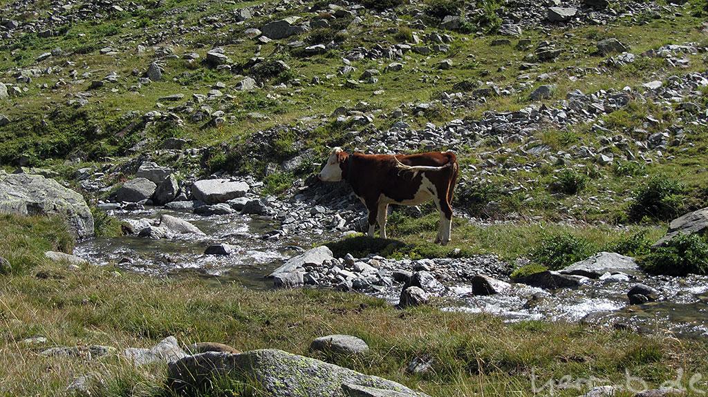Kuh am Wasser