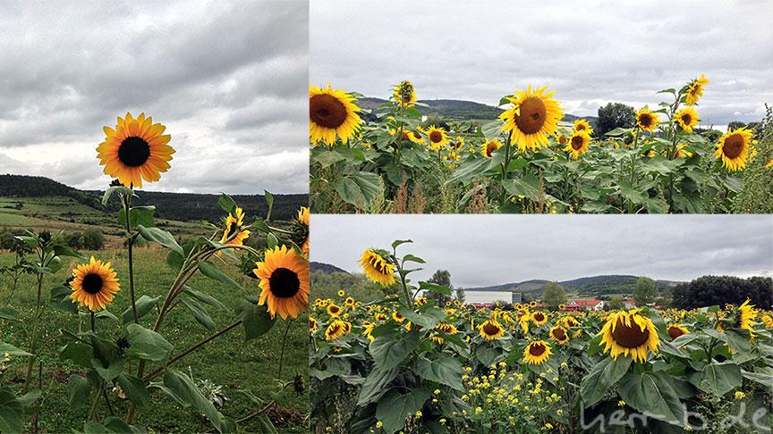 Rothensteiner Sonnenblumen
