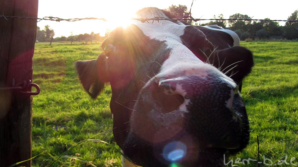 Schnuppernde Kuh