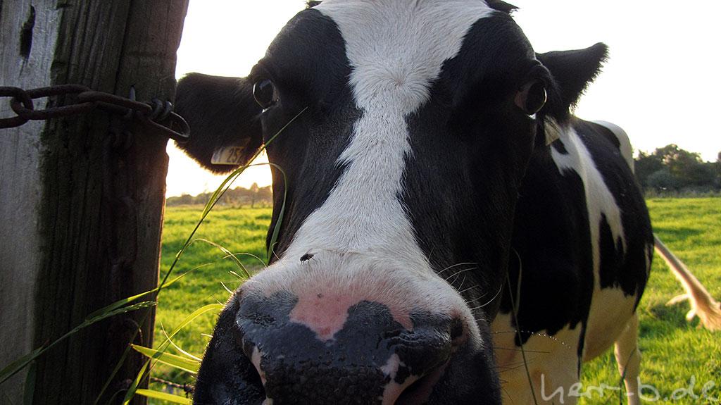 Kuh mit Fliege auf der Nase