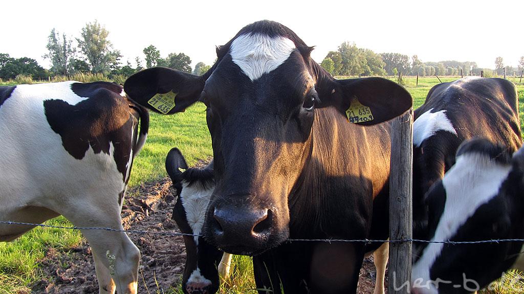Posierende Kuh