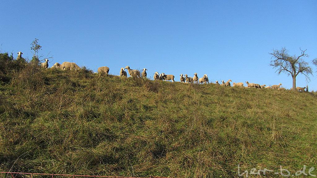 Schafsbrigade glotzt, die haben ihre Weide direkt auf dem Weg abgesteckt.