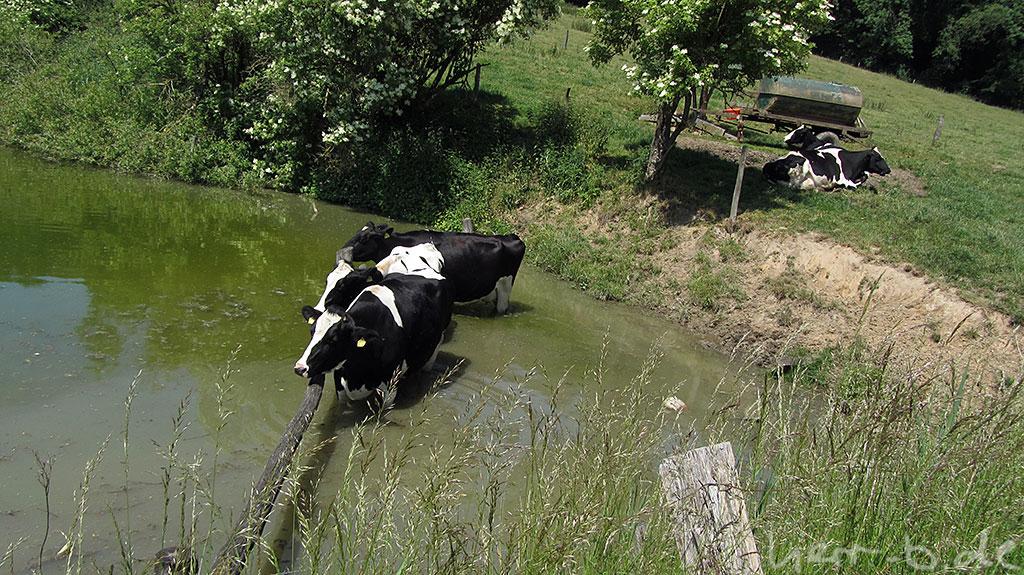 Kühe im Teich am Gut Papendelle