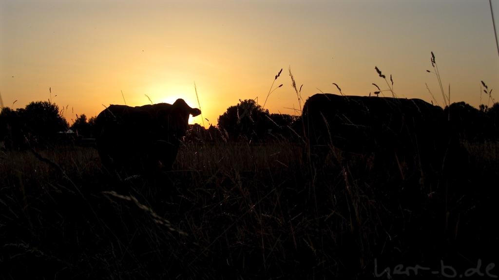 Kühe in der Abendsonne