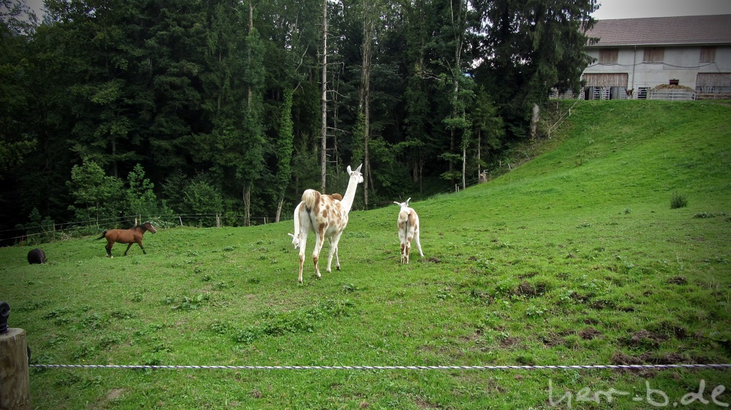 Lamas in der Schweiz.