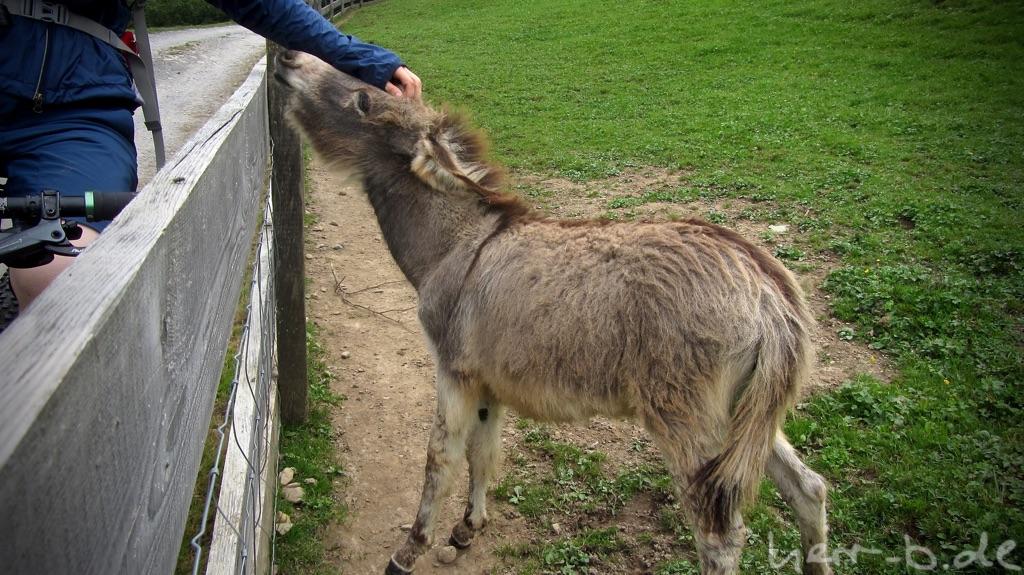 Der Esel möchte bitte gestreichelt werden.