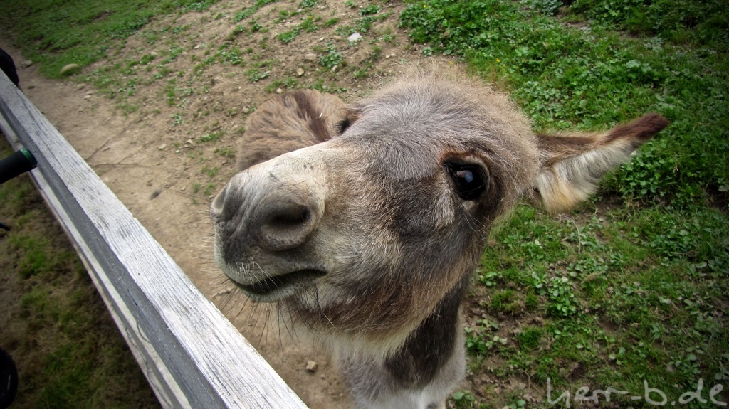 Der lustigste Esel der Welt.