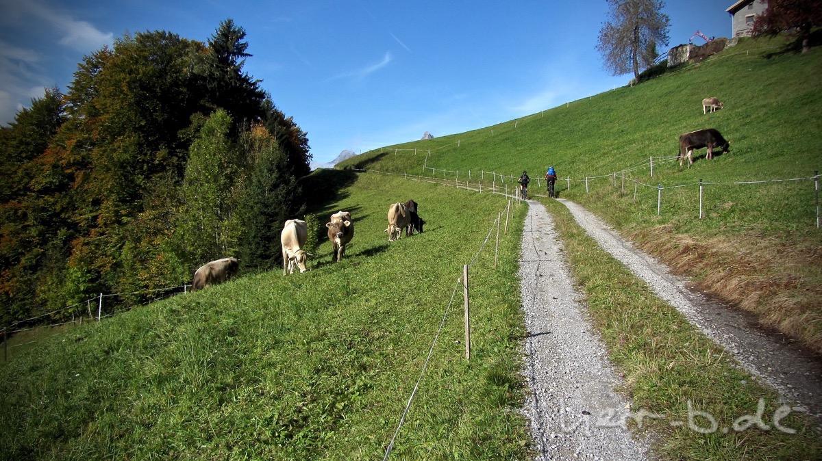 Biker und Kühe.