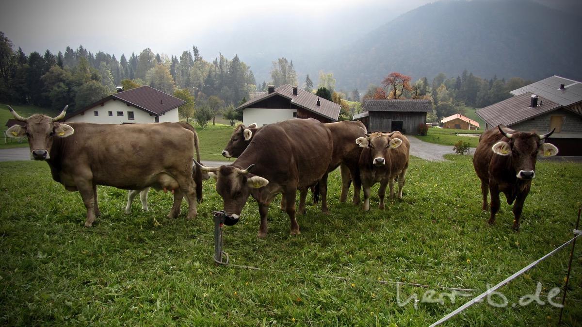 An diesen Rindern konnte ich nicht vorbeifahren.