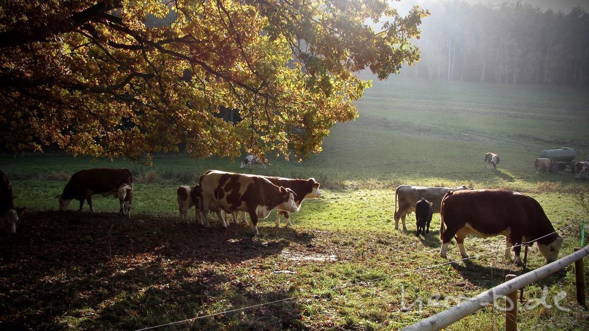 Große und kleine Kühe in der Herbstsonne.