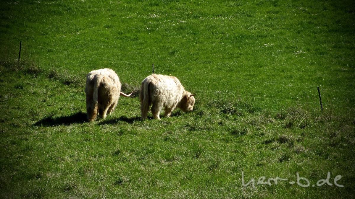 Ein Paar weiße Hochlandrinder.