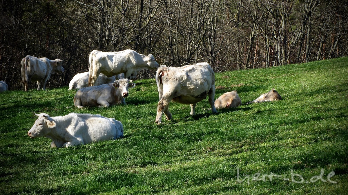 Thüringer Milchkühe, mit Milchfarbenen Fell.