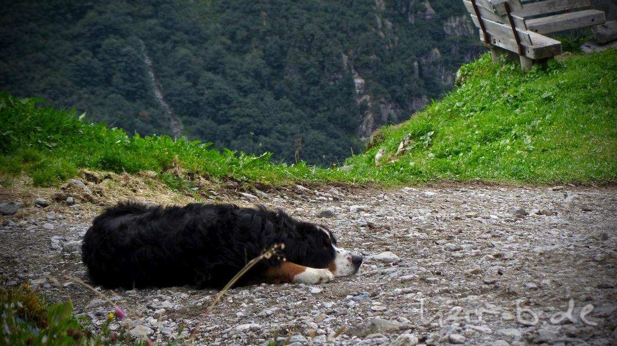Hundeleben auf der Alp.