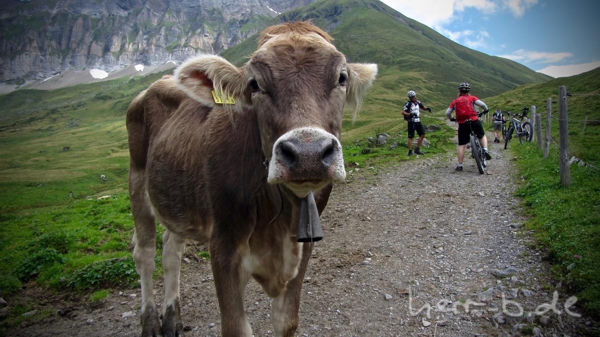 Auf Tuchfühlung mit den Kühen an der Blackenalp.