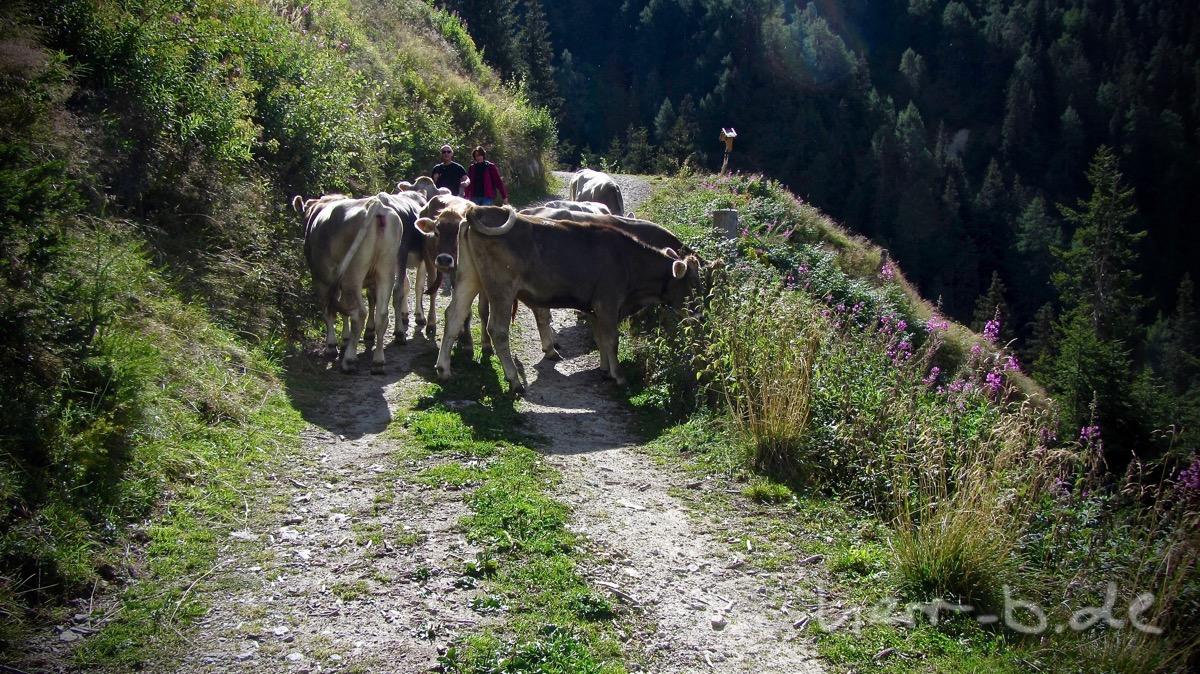 Der Weg gehört den Kühen.