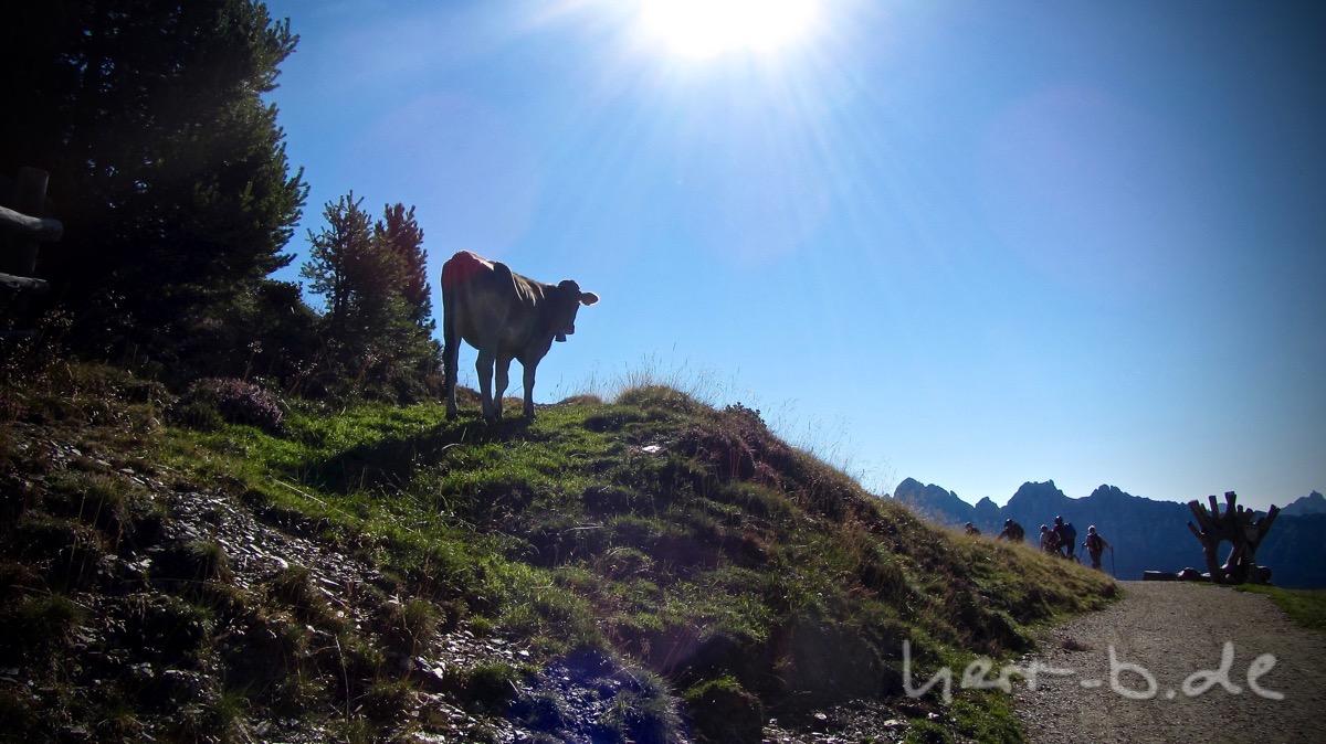 Kuh auf der Plose.