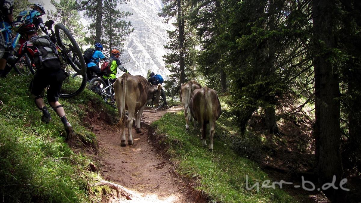 Wegblockade durch Kühe.