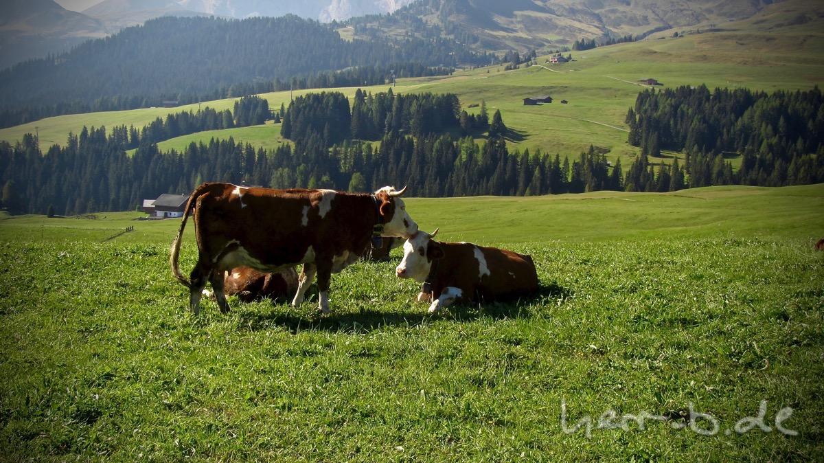 Kuhliebe - Kuh leckt anderer Kuh den Kopf.