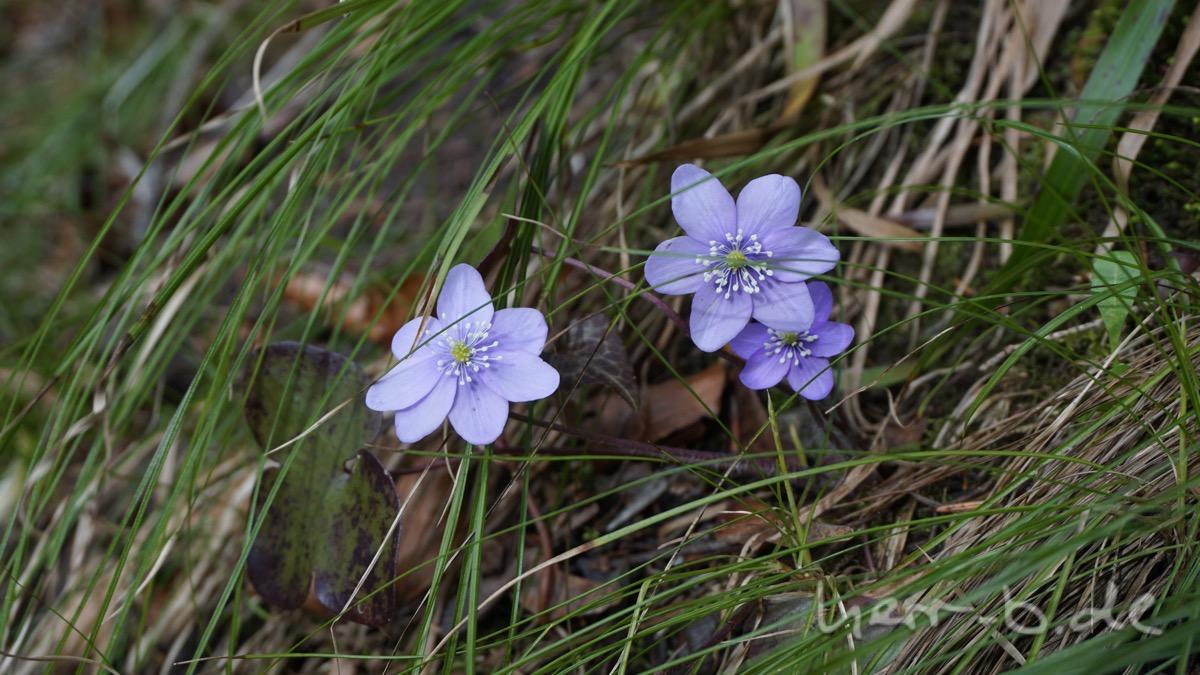 Schweizer Leberblümchen