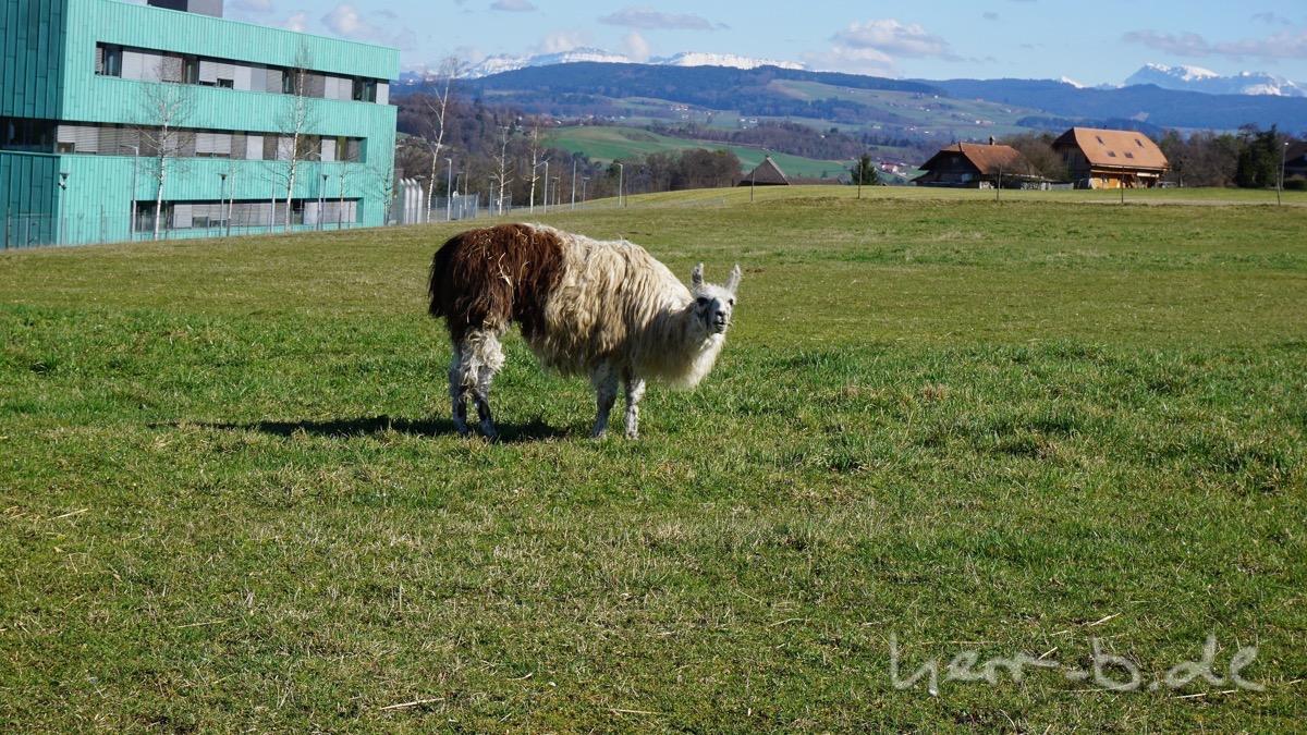 Da steht ein Lama vor der Wohnung.