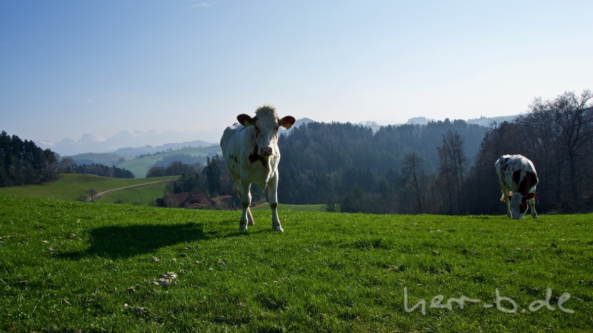 Wald-Kuh mit Bergen im Hintergrund.