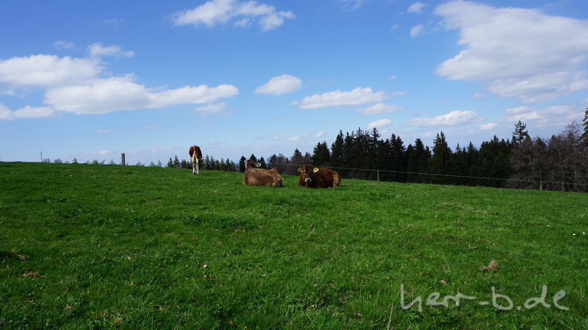 Ein paar Bütschelegg-Kühe.