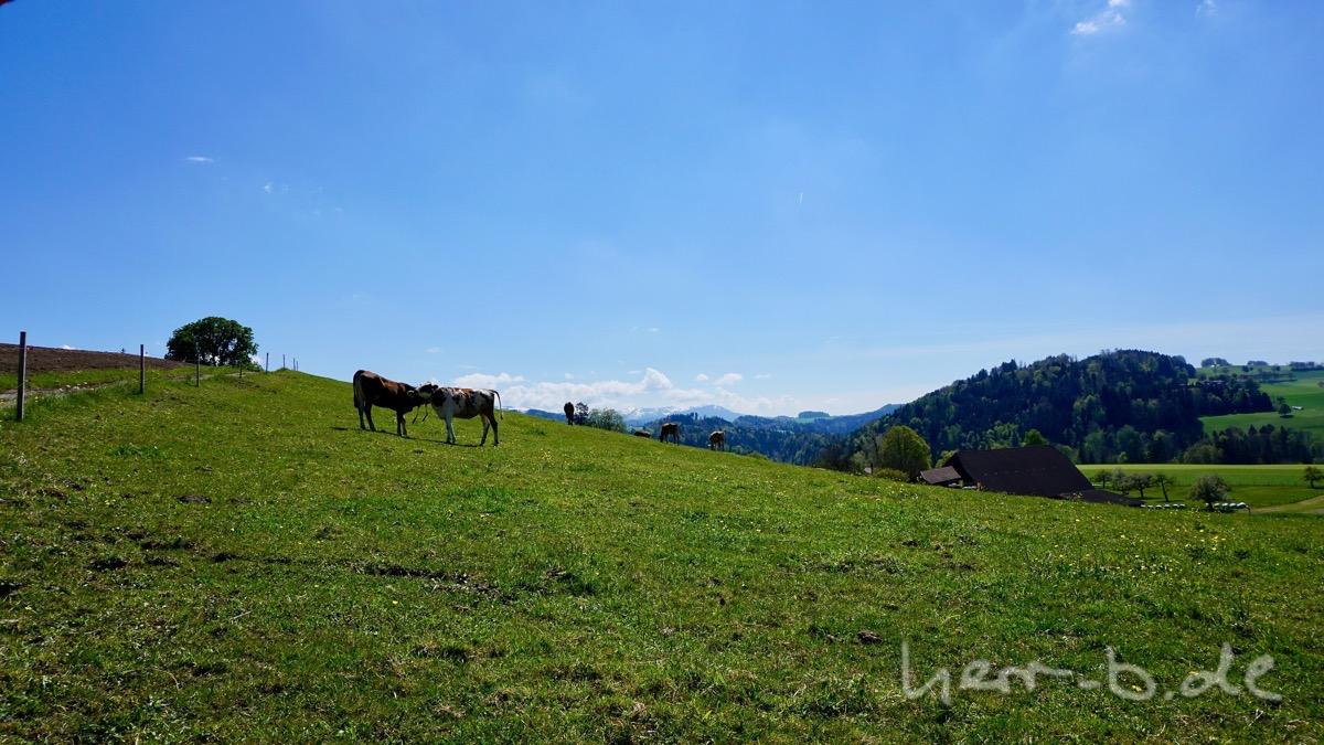 Kühe und Berge.