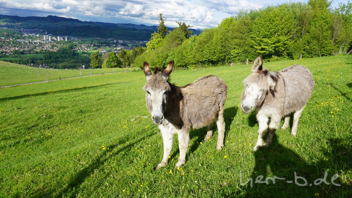 Die lustigen Esel-Kumpanen der Hochlandrinder.