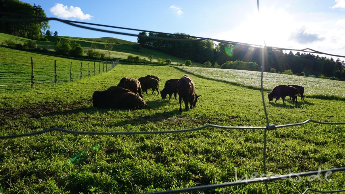 Die Bison-Herde am Gurtendorf.