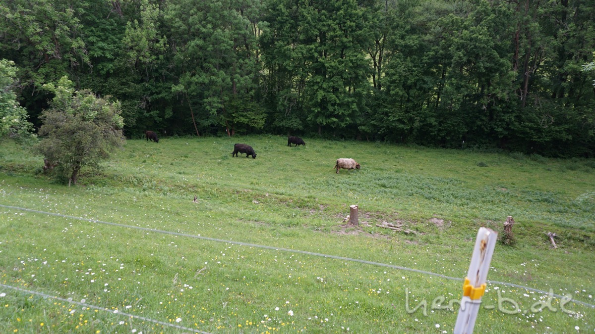 Die Wuschelkühe auf der Weide.
