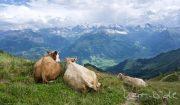 Faulenzende Kühe genießen die Aussicht.