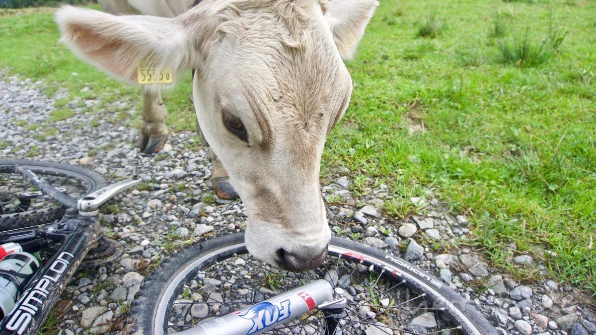 Kuhsabber wird auf dem Bike verteilt.