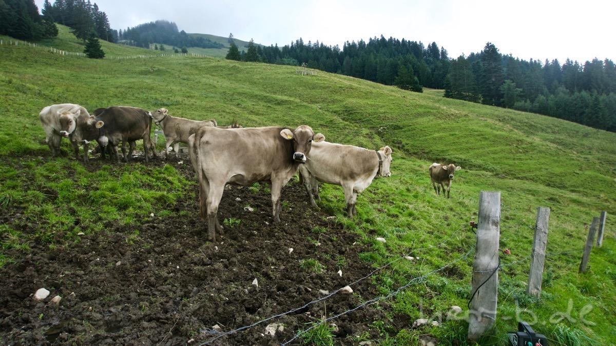 Noch mehr neugierige Kühe.
