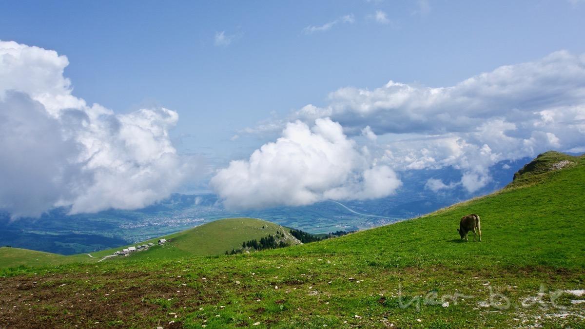 Aussicht aufs Rheintal und Bodensee am Horizont, mit Kuh.