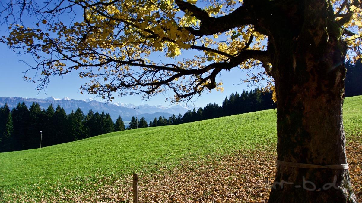 Herbstbaum und Oberland-Gipfel am Horizont.