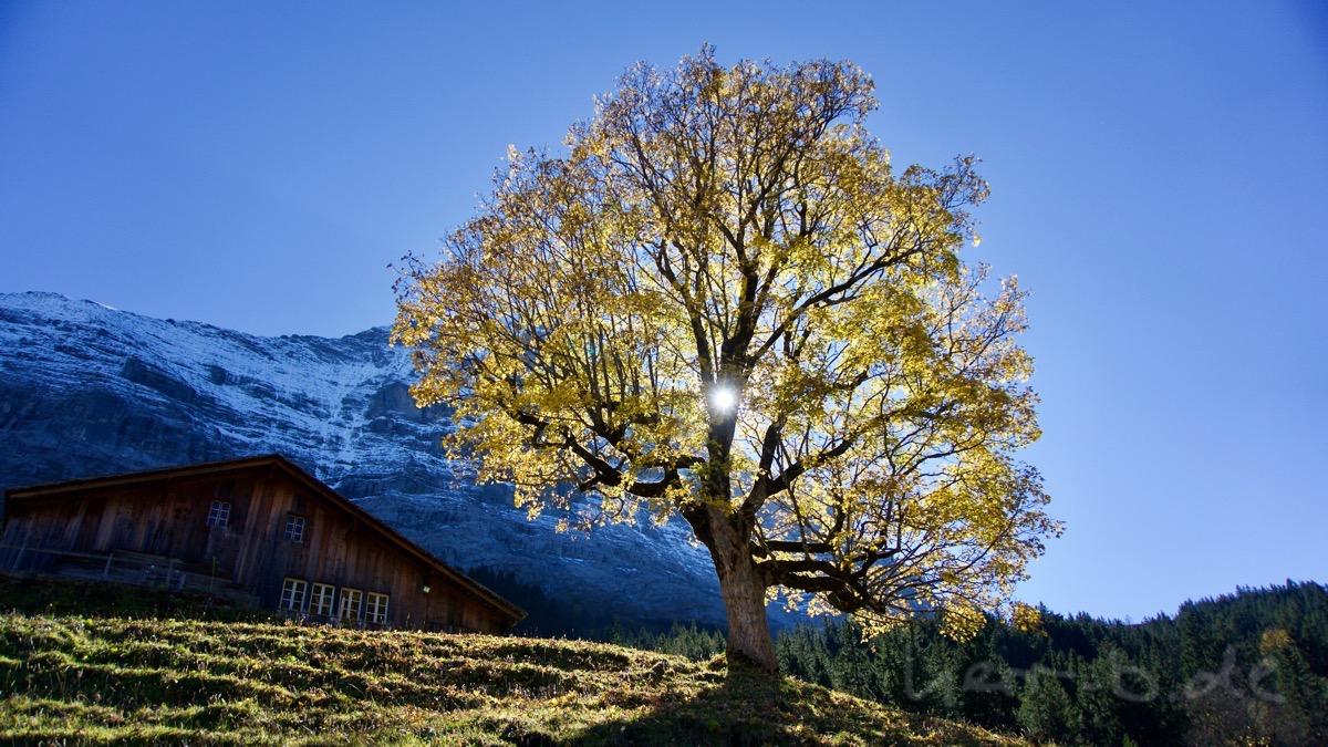 Eiche in Grindelwald vor der Nordwand.