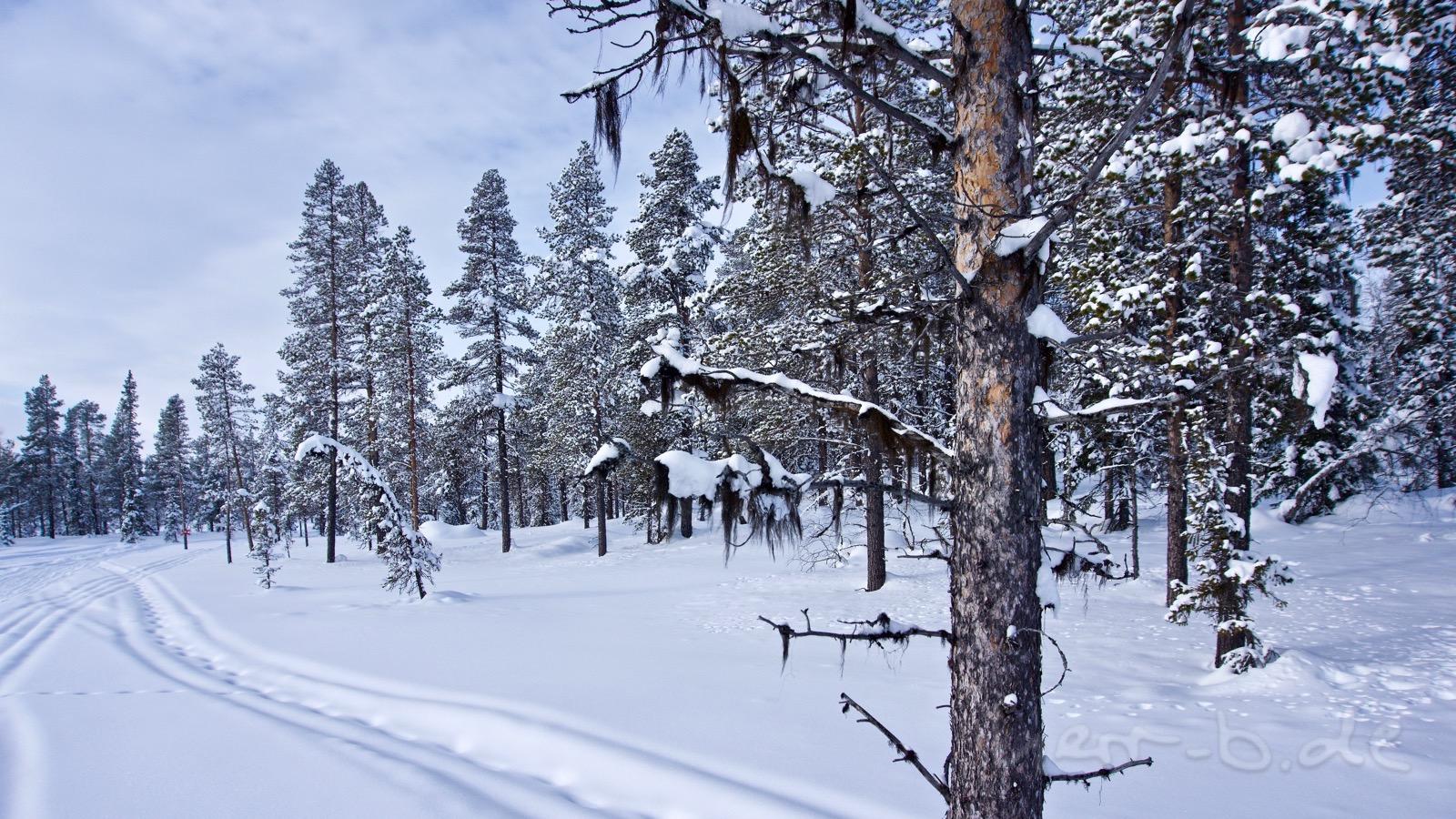 Haarige Bäume in Lappland.