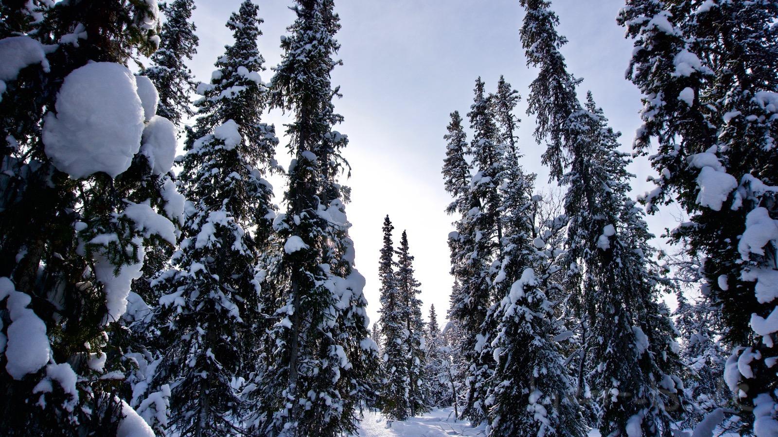Kurz vor dem Ziel bei Kvikkjokk, die Bäume werden wieder größer.