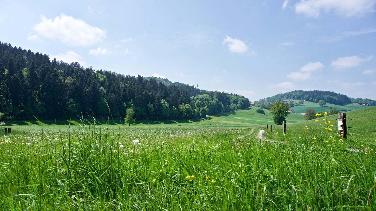 Grüne Frühlingswiesen im Mittelland.