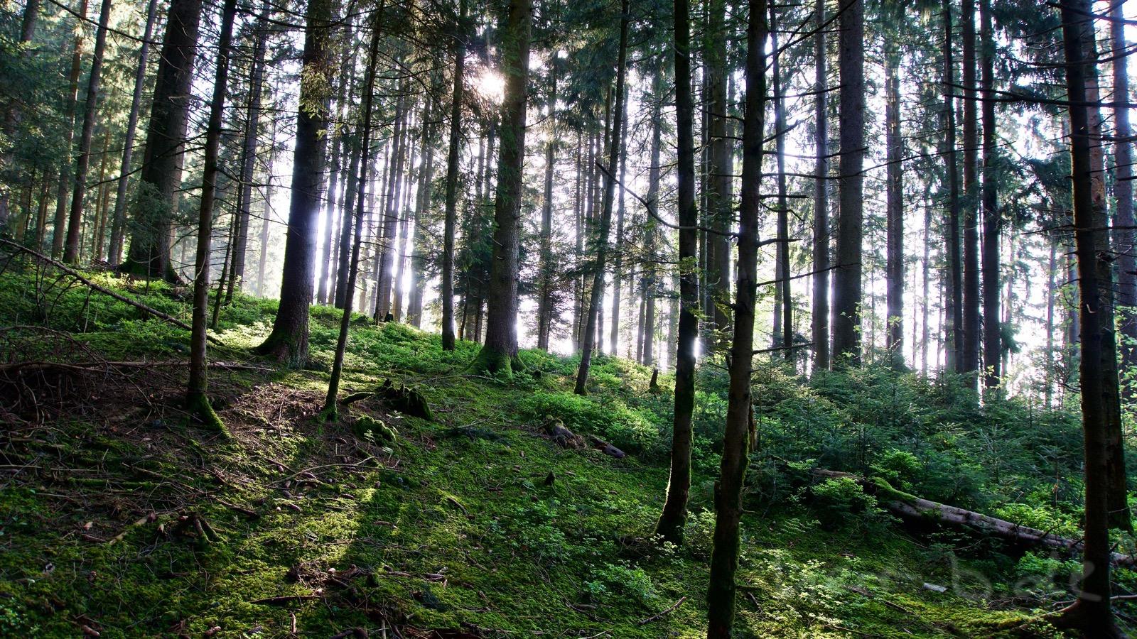 Im Wald am Guggershorn.