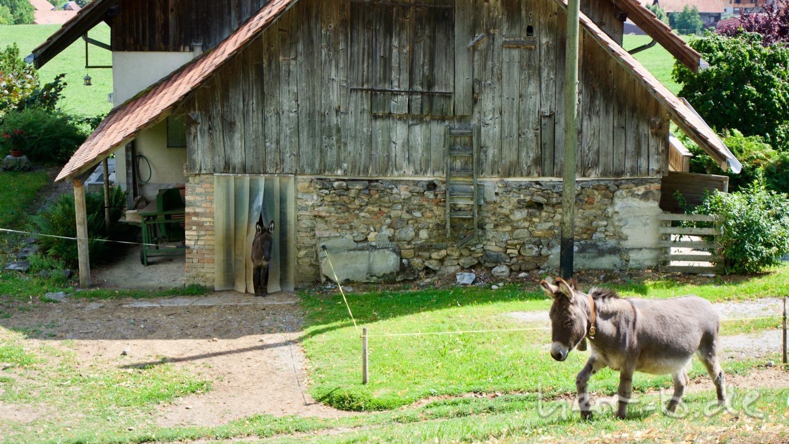 Ein Esel ist draußen, der andere schaut schon aus dem Stall heraus.