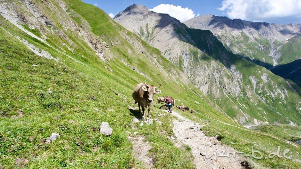 Kühe in der Abfahrt vom Fimberpass.