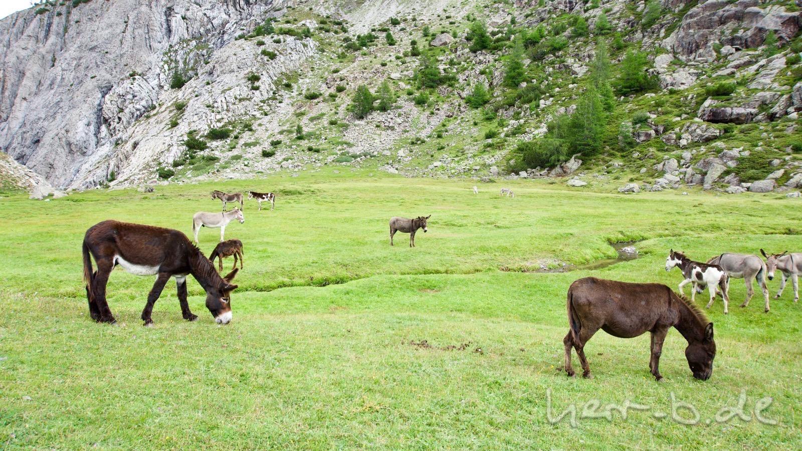 Die Eselherde an der Alpe Trela.