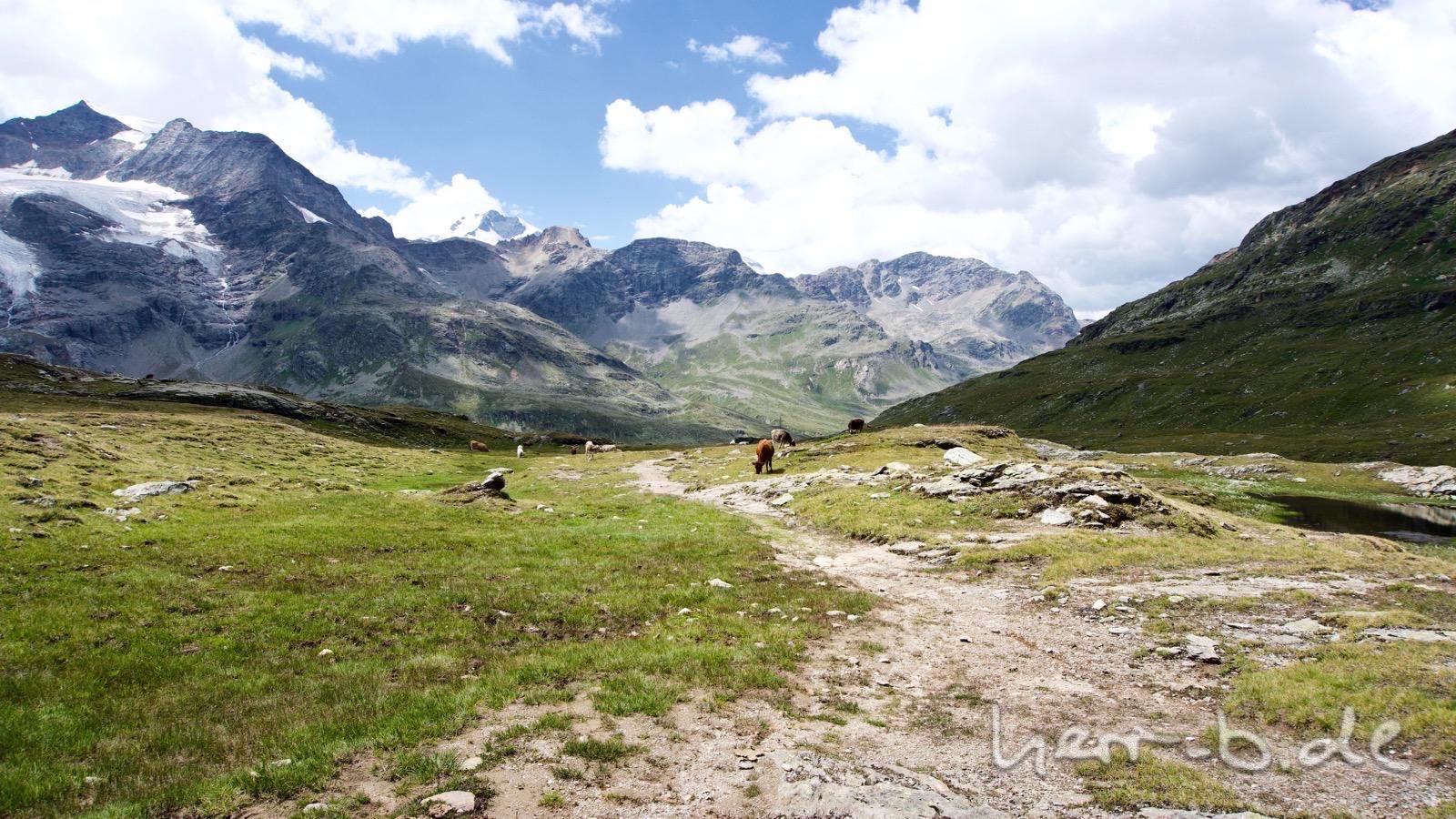 Abfahrt zum Berninapass durch die Kuhherde.