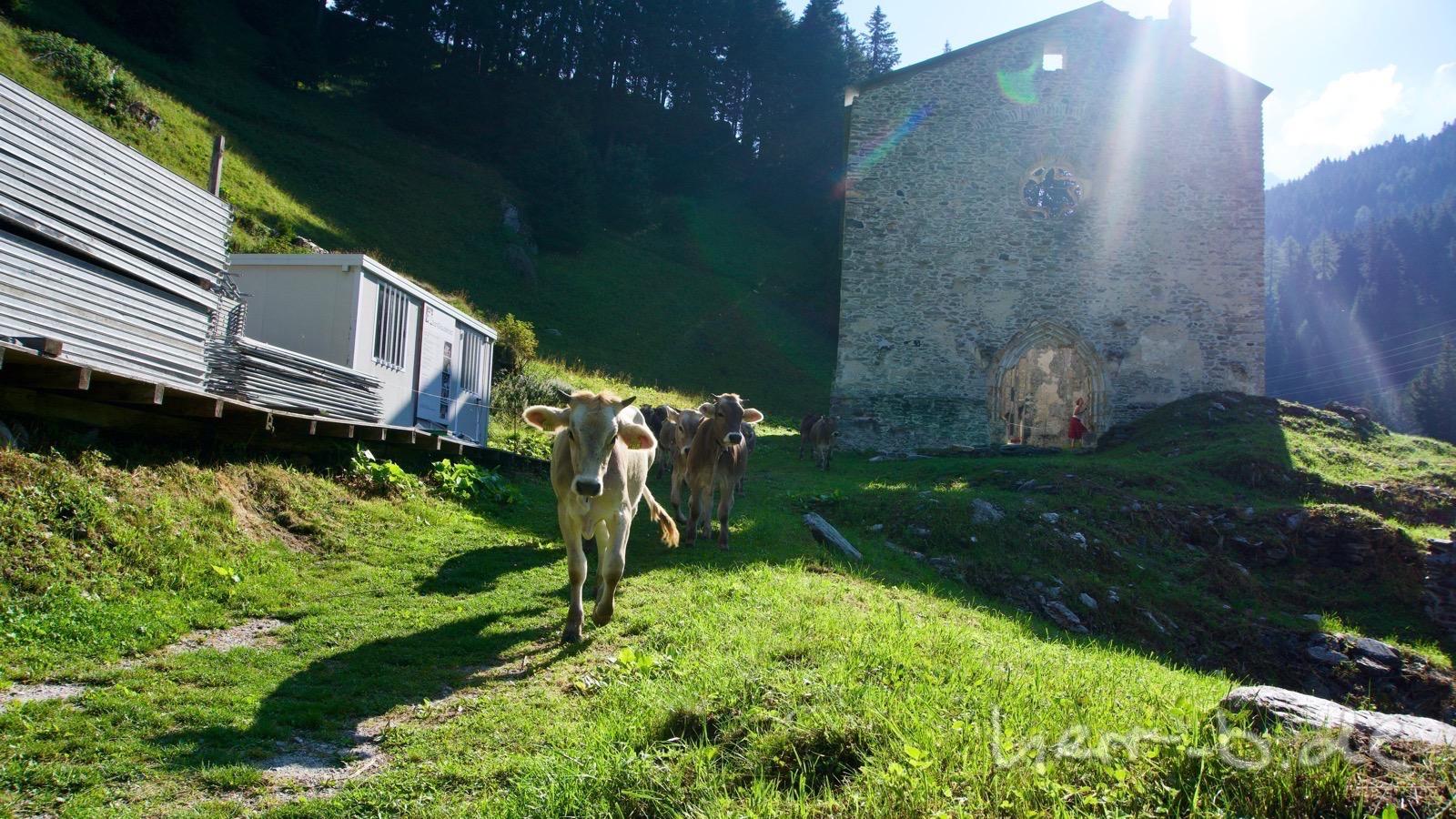 Neugierige Rinder kurz unterhalb vom Malojapass.